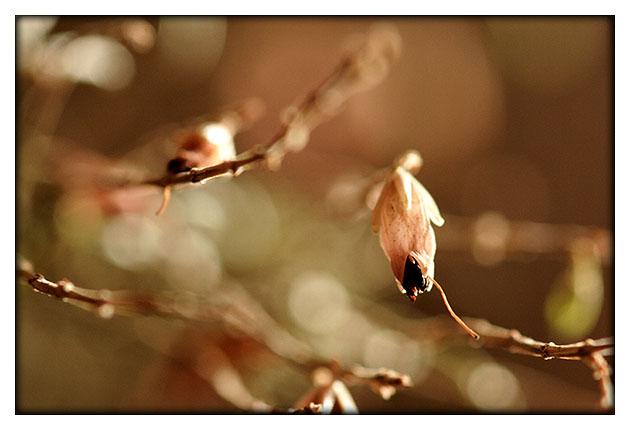 Bourgen rose