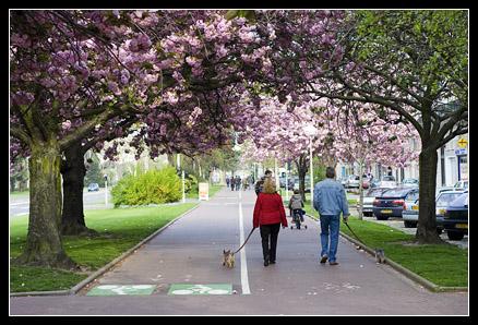 Avenue Foch Cerisier