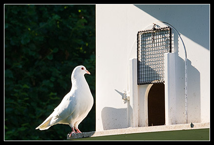 Pigeons Prés Fichaux